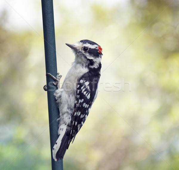 downy woodpecker perching Stock photo © saddako2