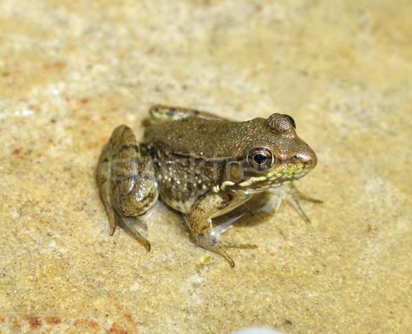 water green frog Stock photo © saddako2