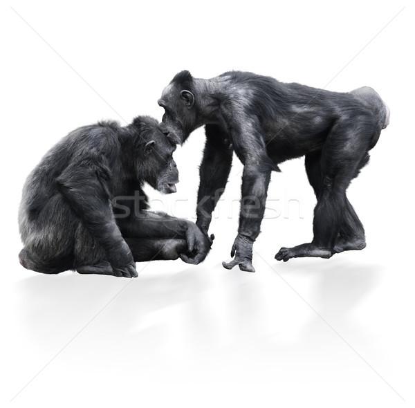 Iki siyah şempanze beyaz doğa maymun Stok fotoğraf © saddako2