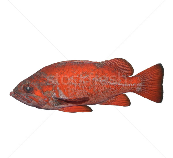 Vermilion Rockfish Stock photo © saddako2