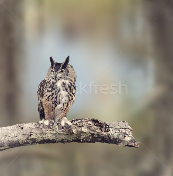 Great Horned Owl Stock photo © saddako2