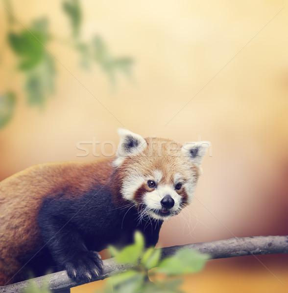 Kırmızı panda ayı tırmanma ağaç orman Stok fotoğraf © saddako2