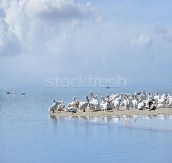 White Pelicans Stock photo © saddako2