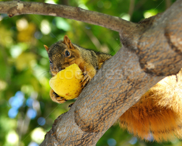 squirrel eating apple Stock photo © saddako2