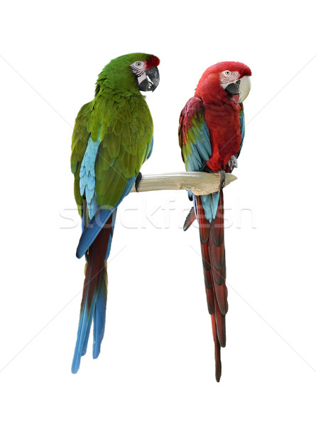 Colorful  Macaw Parrots Stock photo © saddako2