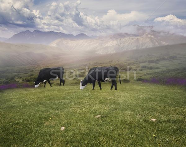 Grazing Cows  Stock photo © saddako2