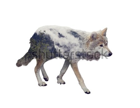 Grey Wolf (Canis lupus) Stock photo © saddako2
