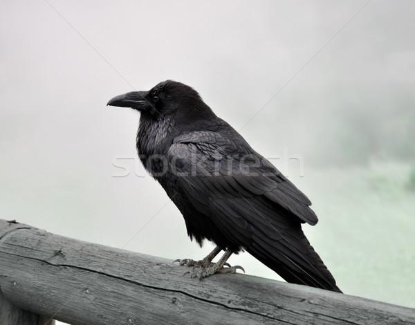 Siyah kuzgun büyük oturma ahşap Stok fotoğraf © saddako2