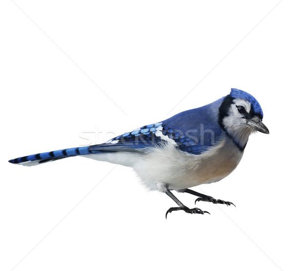 Сток-фото: синий · природы · птица · Перу · животного