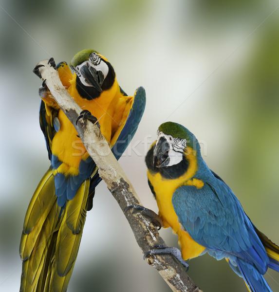 Blue Macaw Parrots Stock photo © saddako2
