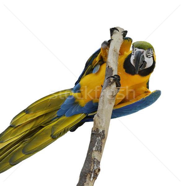 Blue And Gold Macaw Stock photo © saddako2