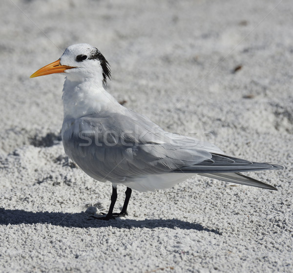 Elegant Tern Seabird  Stock photo © saddako2