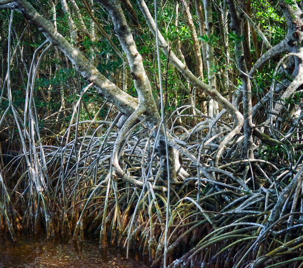 Mangrove Forest Stock photo © saddako2