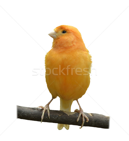 Wild Canary Stock photo © saddako2