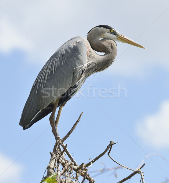 Great Blue Heron Perching Stock photo © saddako2