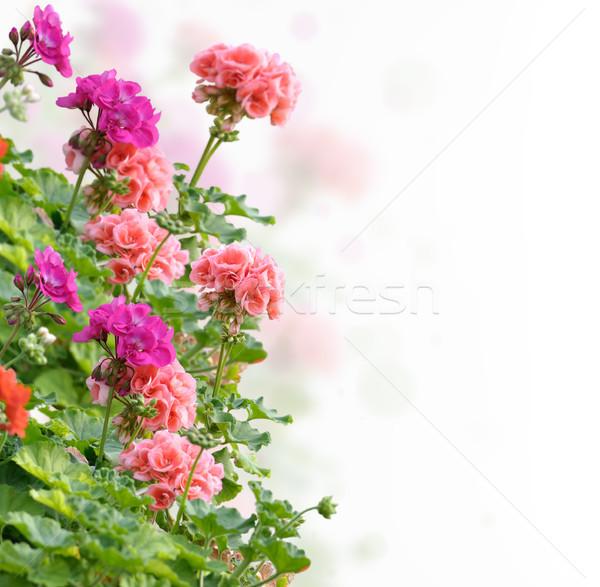 Geranium Flowers  Stock photo © saddako2