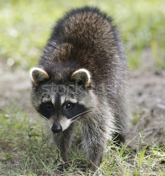Wasbeer jonge omhoog shot gras dier Stockfoto © saddako2