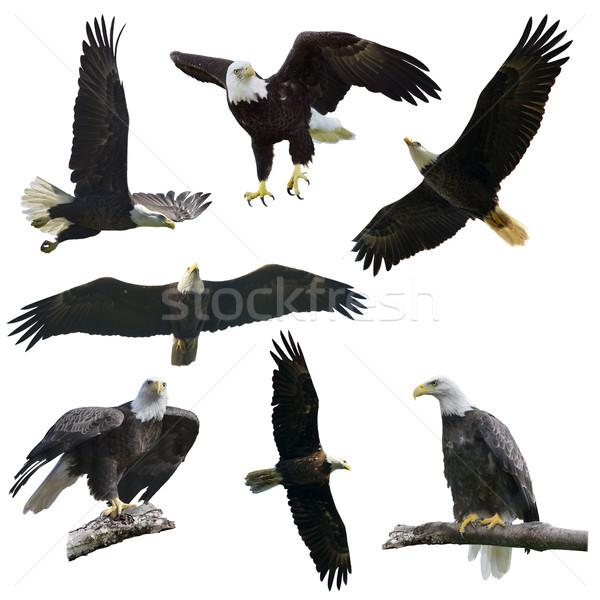 Bald eagles on  white background Stock photo © saddako2