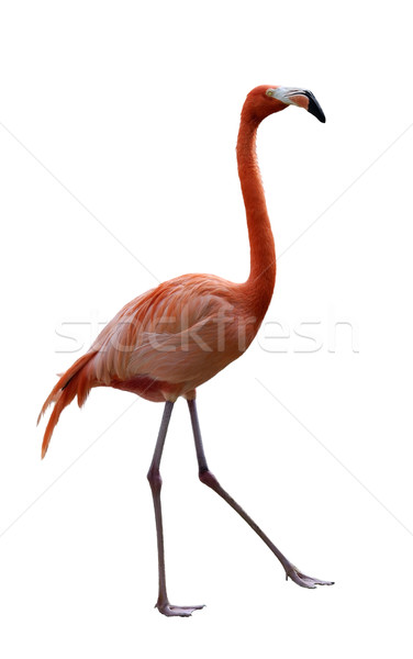 Flamingo Bird  Stock photo © saddako2