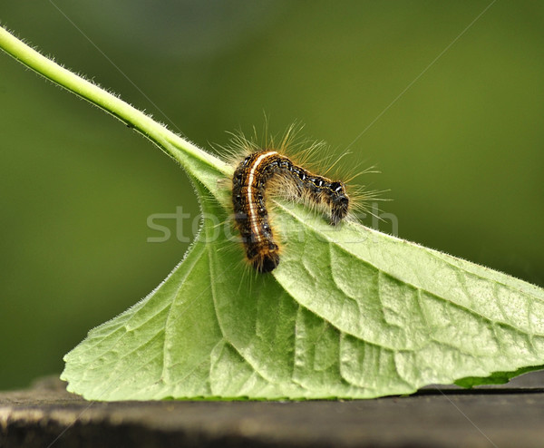 Black caterpillar Stock photo © saddako2
