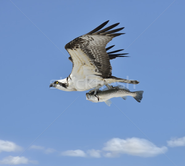 Flying Osprey Carrying A Fish Stock photo © saddako2