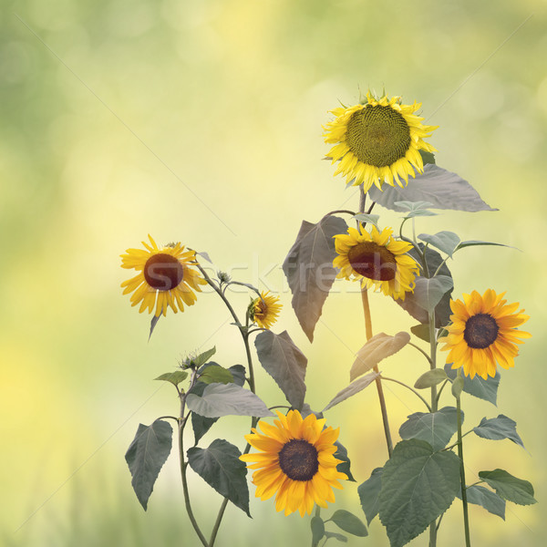 Image of Sunflowers blooming  Stock photo © saddako2