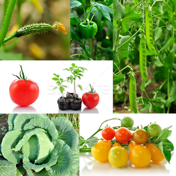 野菜 コラージュ 春 庭園 緑 トマト ストックフォト © saddako2