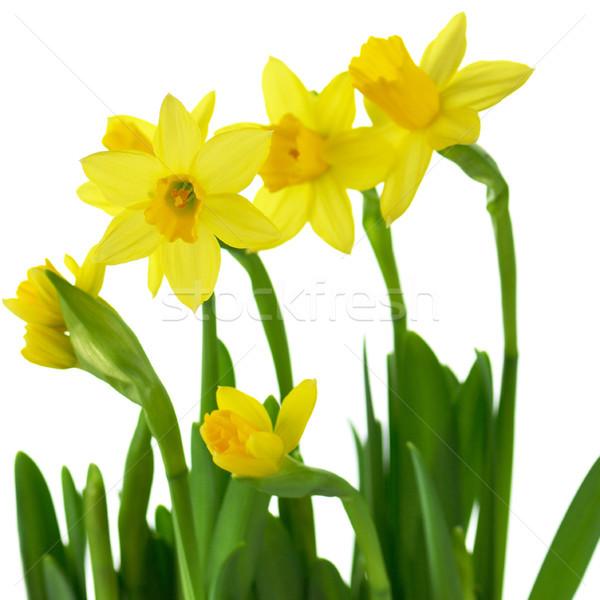 Citromsárga nárciszok tavasz fehér húsvét fű Stock fotó © saddako2