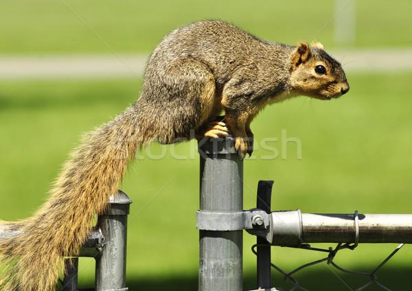 fox squirrel Stock photo © saddako2