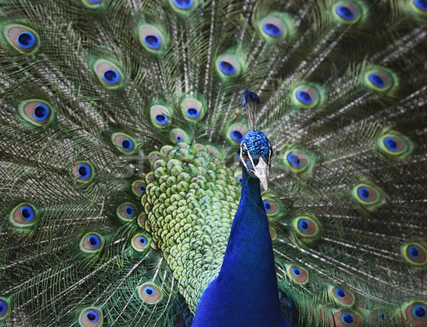 Pavone ritratto fuori natura blu Foto d'archivio © saddako2