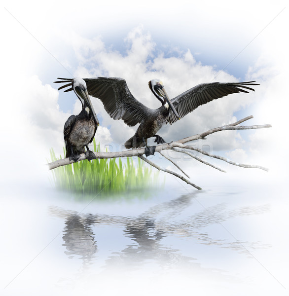 Two Pelicans Stock photo © saddako2