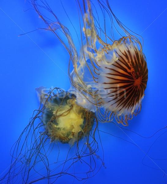 Zwemmen kwal Blauw water dier zwemmen Stockfoto © saddako2