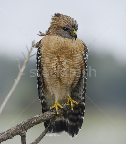 Red Shouldered Hawk Perching Stock photo © saddako2