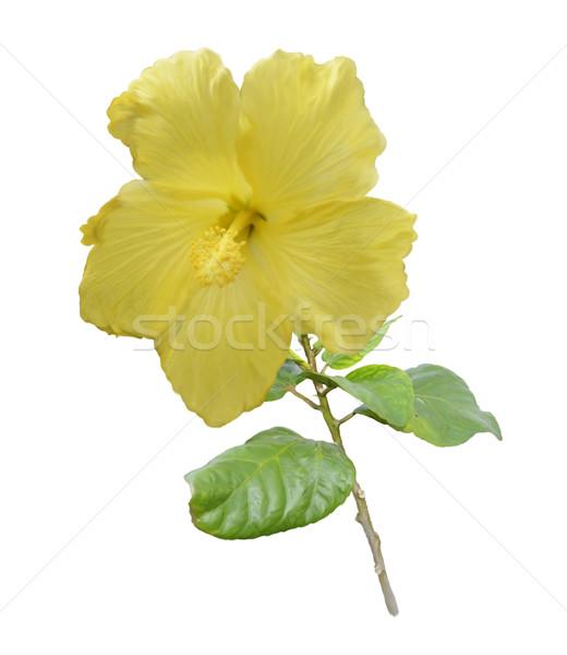 黄色 ハイビスカス 花 デジタル 絵画 葉 ストックフォト © saddako2