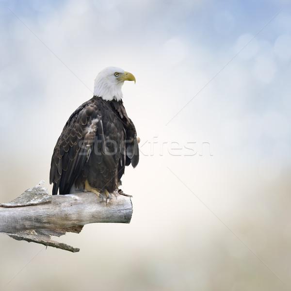 Foto stock: Careca · Águia · pássaro · pena · branco · ao · ar · livre