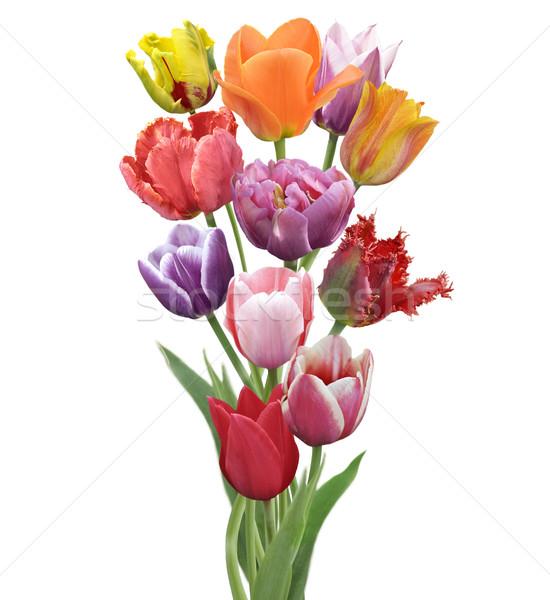 Tulipani fiori colorato isolato bianco natura Foto d'archivio © saddako2