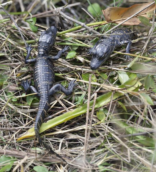 Baby Alligators Stock photo © saddako2