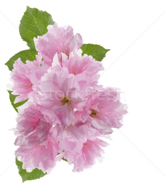 Kiraz çiçeği Suluboya Dijital Boyama çiçek Yaprak Stok