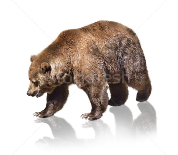 Brown Bear Stock photo © saddako2