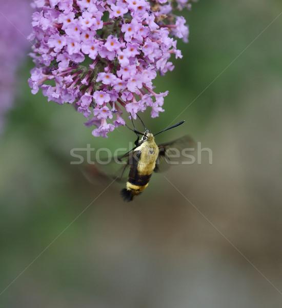 ハチドリ 動物 昆虫 翼 マクロ 桜 ストックフォト © saddako2