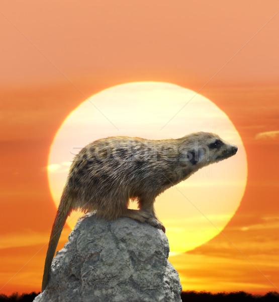 Meerkat Against  Sunset Stock photo © saddako2
