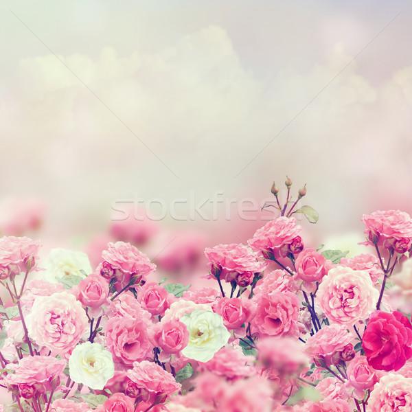 Rose Flowers Stock photo © saddako2