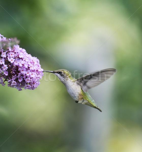 Rubin kolibri női természet nyár madár Stock fotó © saddako2
