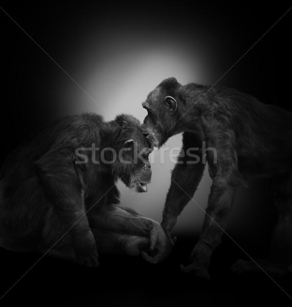 Iki şempanze siyah maymun tropikal hayvan Stok fotoğraf © saddako2