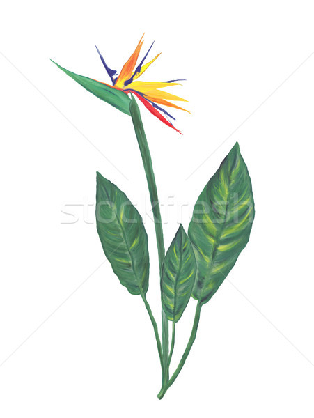 bird of paradise flower watercolor Stock photo © saddako2
