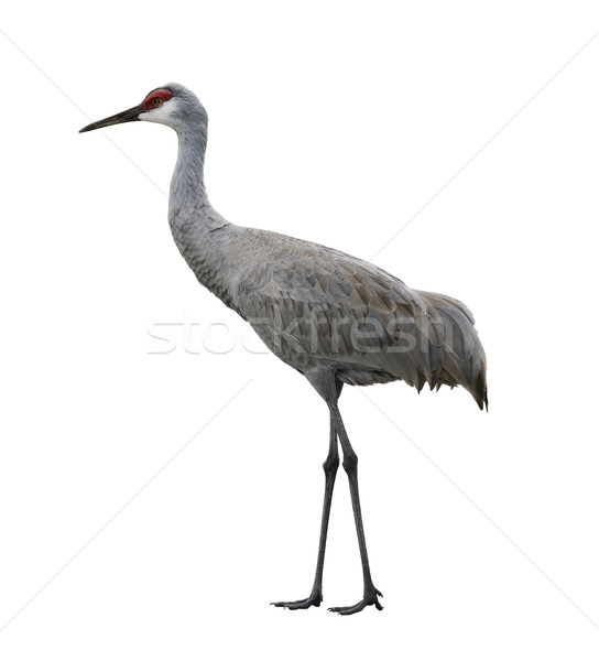 Sandhill Crane Bird Stock photo © saddako2