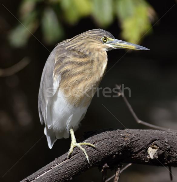 Black-Crowned Night-Heron Stock photo © saddako2