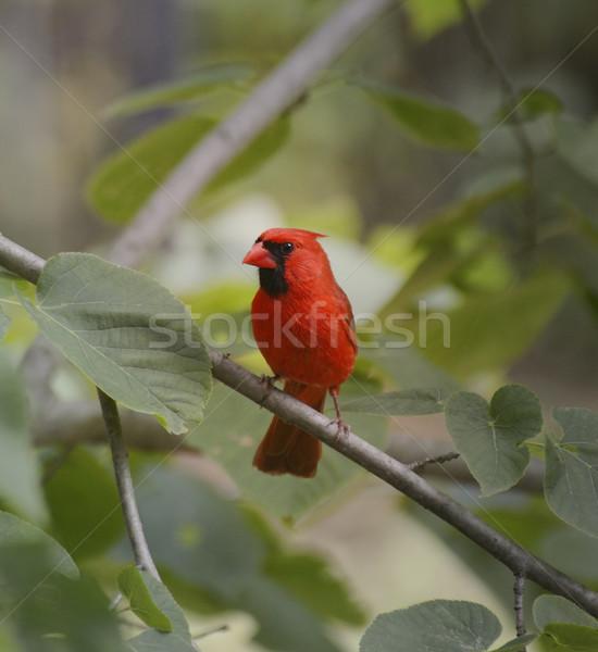 Cardinal Bird Stock photo © saddako2