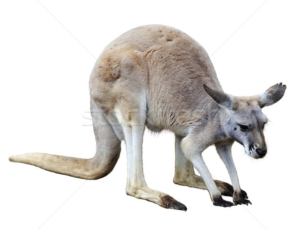 Kangaroo Stock photo © saddako2