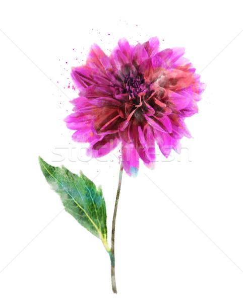 Aquarel afbeelding roze dahlia digitale schilderij Stockfoto © saddako2